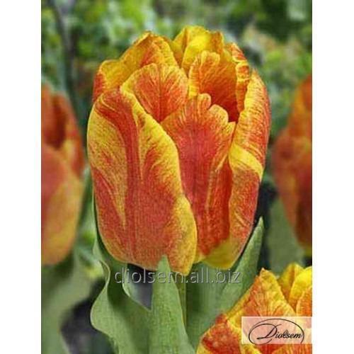 Луковицы тюльпана Monte Flame 37093