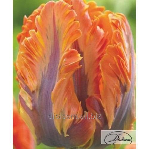 Луковицы тюльпана Orange Rococo 12195