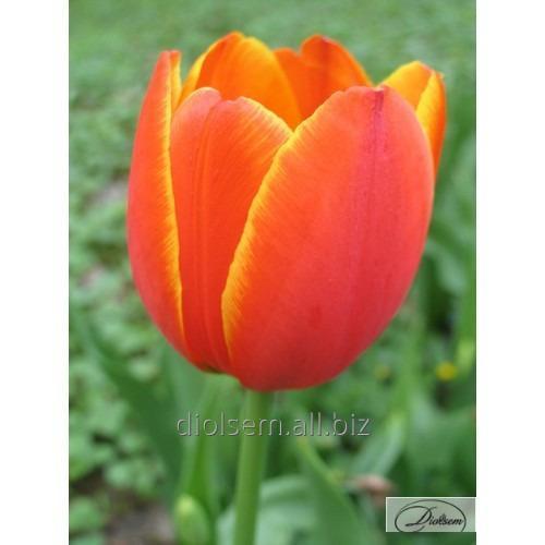 Луковицы тюльпана Orange Legend 12071