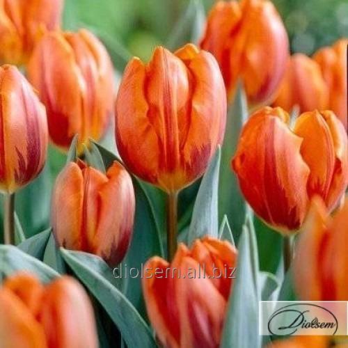 Луковицы тюльпана Prinses Irene 37124