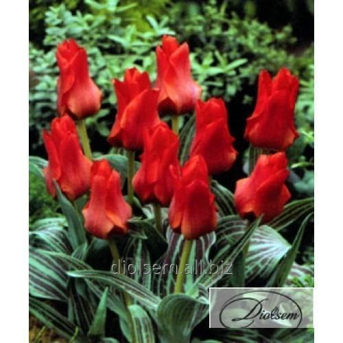 Луковицы тюльпана Red Riding Hood 12045