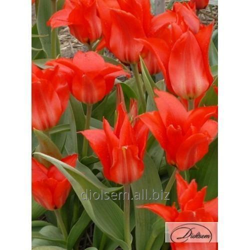 Луковицы тюльпана Red Torch 35106