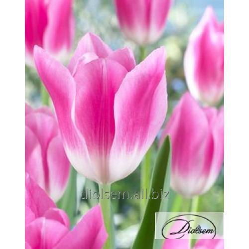 Луковицы тюльпана Royal Ten 12096