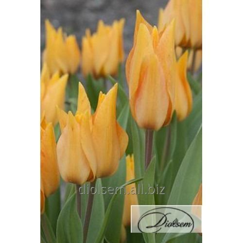 Луковицы тюльпана Shogun 12042