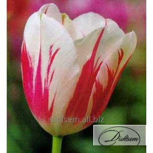 Луковицы тюльпана Sorbet 12104