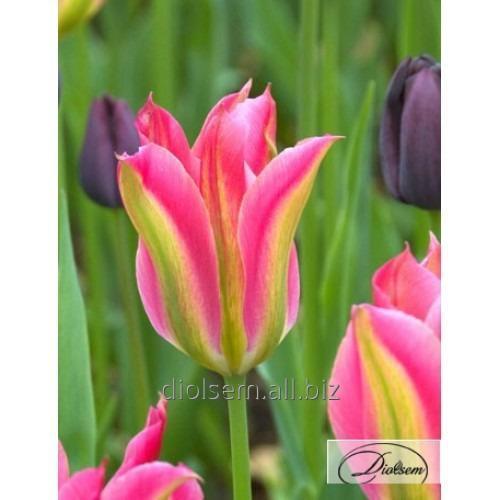 Луковицы тюльпана Virichic 12181
