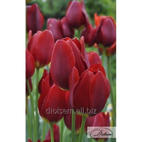 Луковицы тюльпана Wallflower 12115