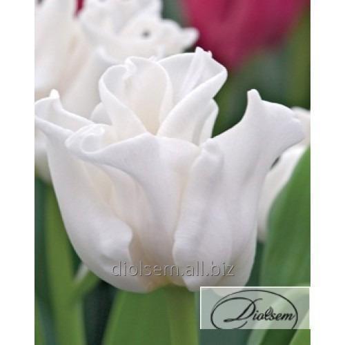 Луковицы тюльпана White Liberstar 12122