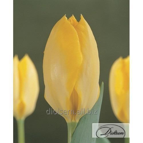 Луковицы тюльпана Yellow Purissima 12021