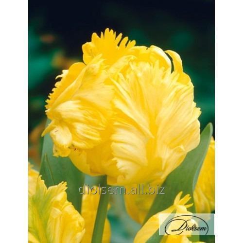 Луковицы тюльпана Yoko Parrot 37148
