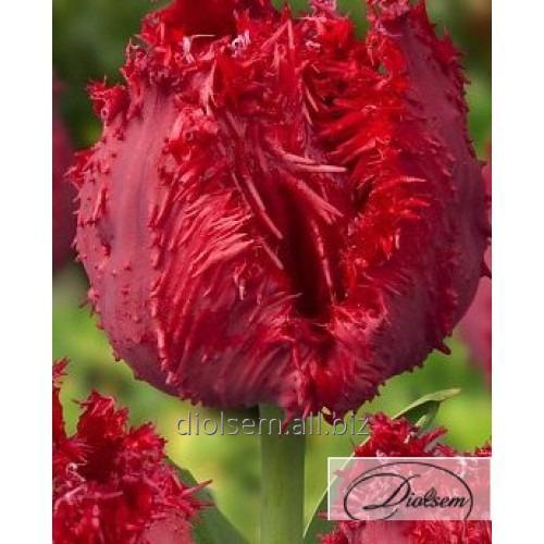 Луковицы тюльпана Barbados 12151