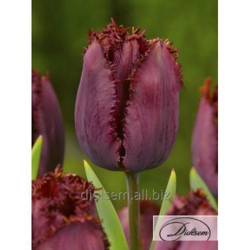 Луковицы тюльпана Black Jewel 12155