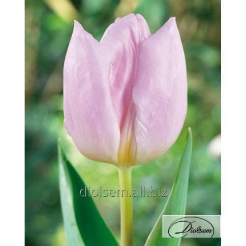 Луковицы тюльпана Candy Prince 12026