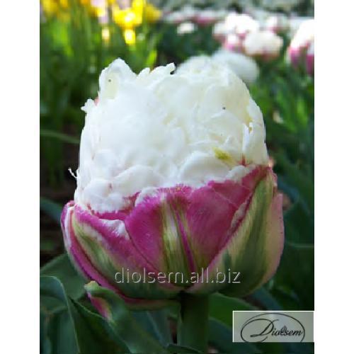 Луковицы тюльпана Double Polar 12231