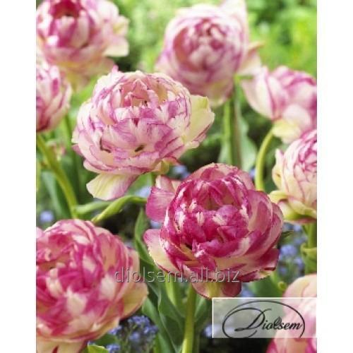 Луковицы тюльпана Double Touch 12225