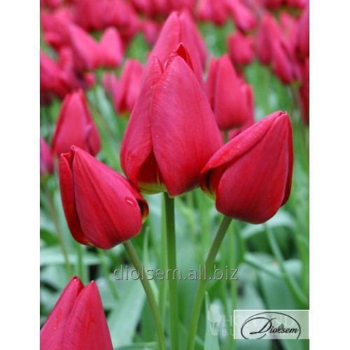 Луковицы тюльпана Dragon King 12116