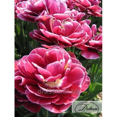 Луковицы тюльпана Dream Touch 12227