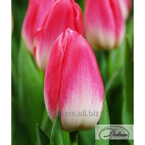 Луковицы тюльпана Dynasty 35005