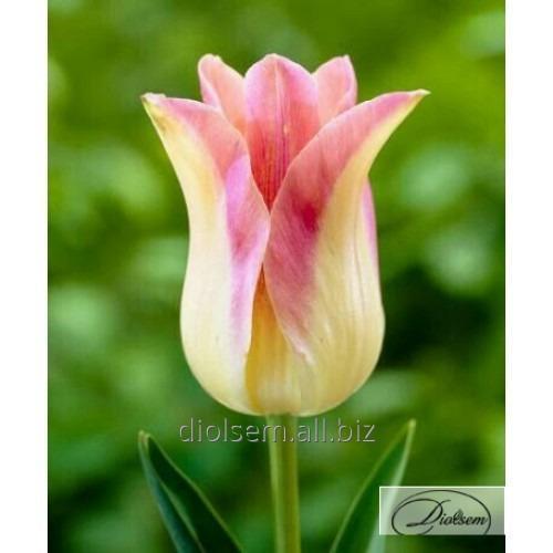 Луковицы тюльпана Elegant Lady 12146