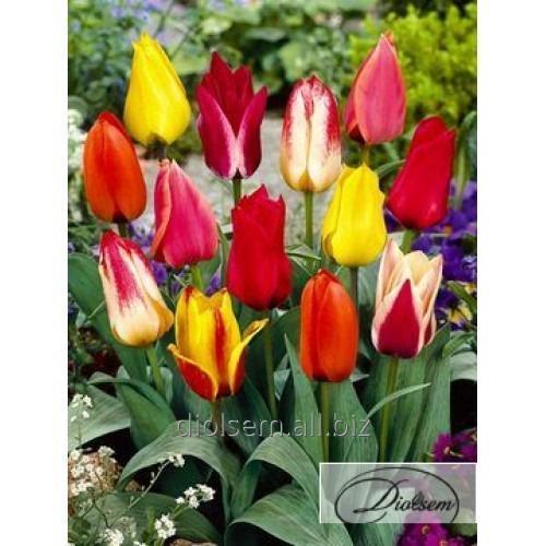 Луковицы тюльпана Greigii Mixed 35110