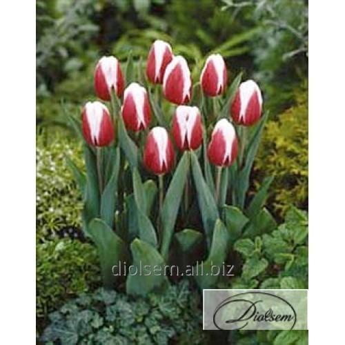 Луковицы тюльпана Guus Papendrecht 35016