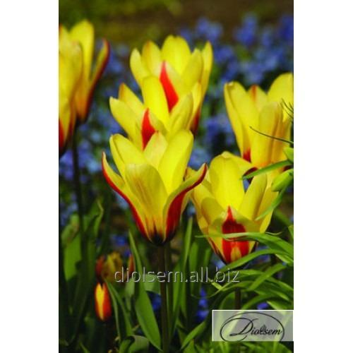 Луковицы тюльпана Hitparade 12020