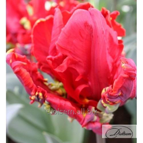 Луковицы тюльпана Lucky Parrot 35080