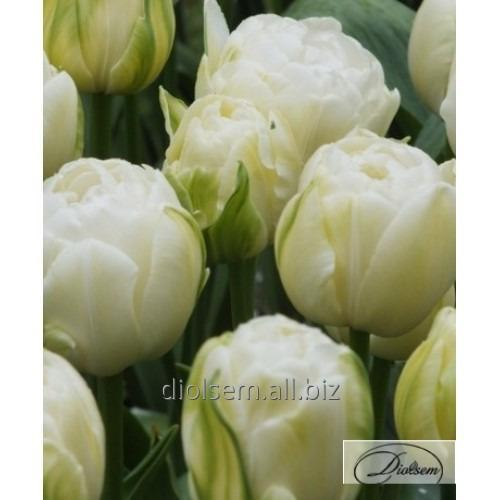 Bulbs of a tulip of Maureen Double 35404