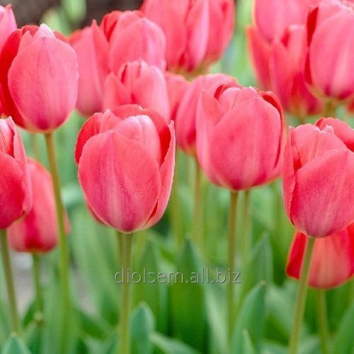 Луковицы тюльпана Mystic van Eijk 37090
