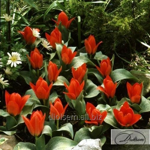 Луковицы тюльпана Oriental Beauty 37112