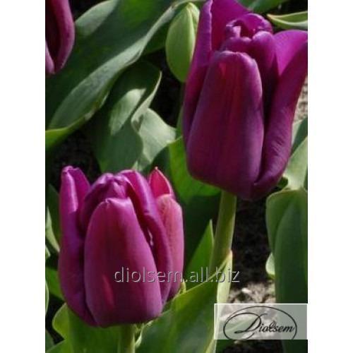 Луковицы тюльпана Passio Glossy 12076
