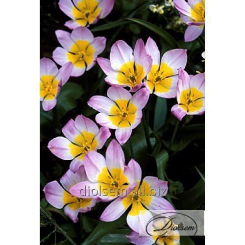 Луковицы тюльпана Saxatilis 12056