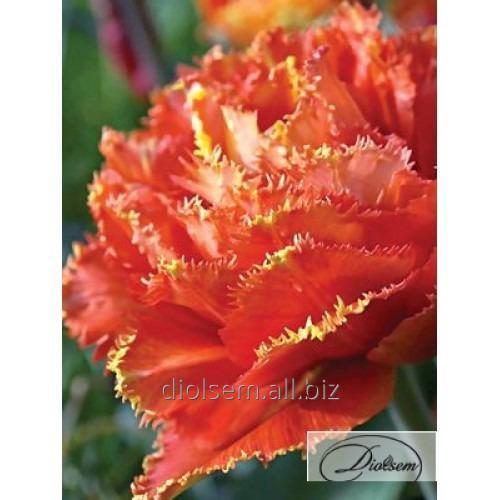 Луковицы тюльпана Sensual Touch 12173