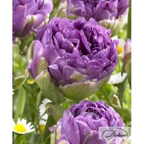 Луковицы тюльпана Violet Prana 35415