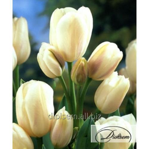 Луковицы тюльпана Weisse Berliner 12117