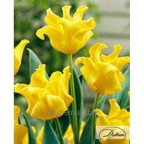 Луковицы тюльпана Yellow Crown 12123