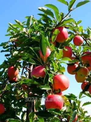 Купить Cаженцы яблони
