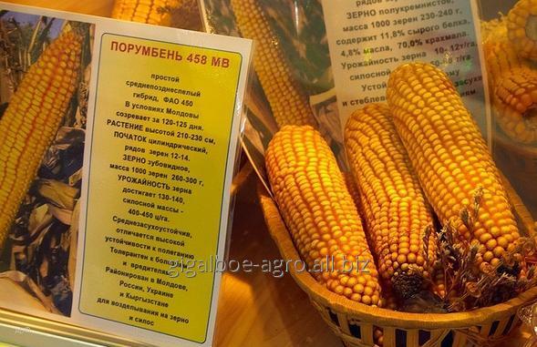 """Купить Кукуруза гибрид """"Порумбень 458"""""""