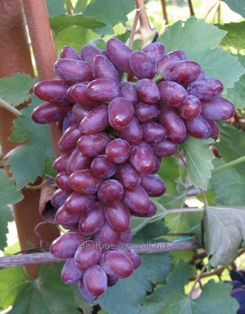 Купить Виноград сорт Виктория
