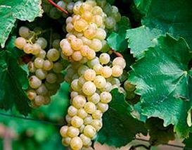 Купить Виноград технический сорт Пти Грин (Petit Green)