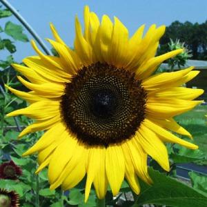 Подсолнечник лепестки   сушенные( sunflower petals  dried)