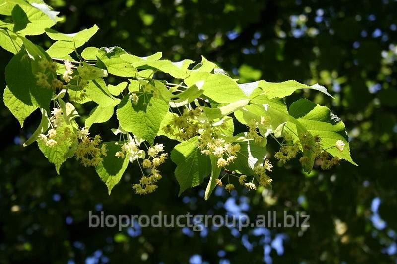 Липа   цветки ( Tilia Cordata  flos)