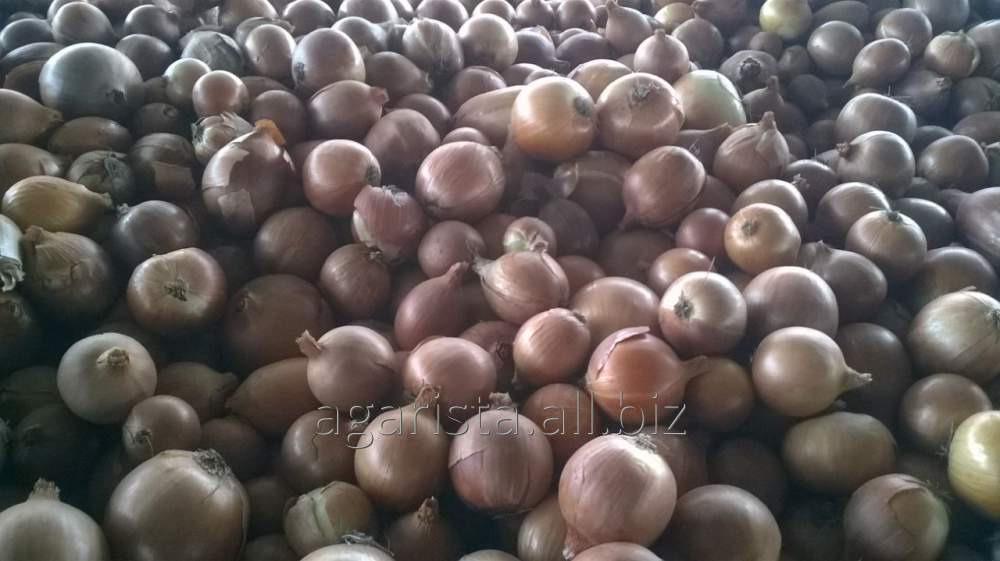 Купить Лук (Ceapa) (из семян) . Продукт находится в р.Орхей.