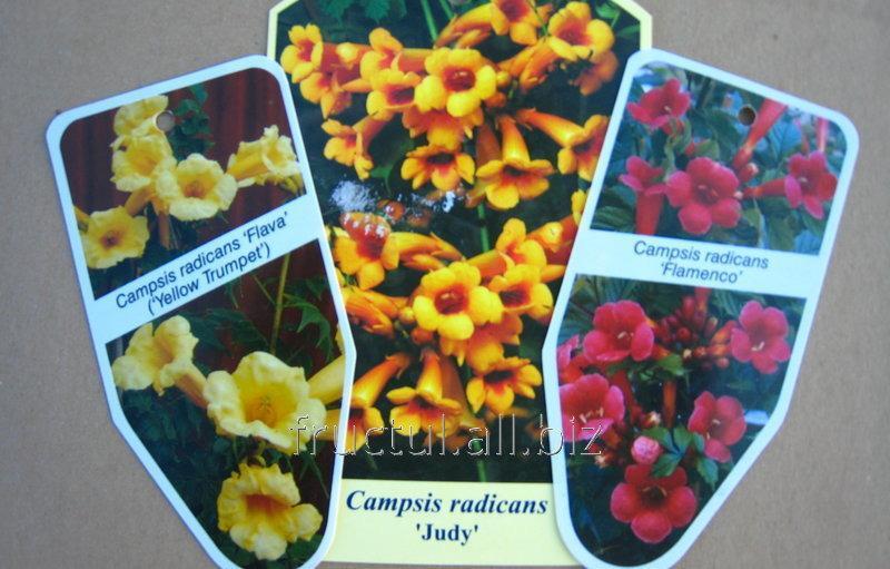 Купить Цветы Campsis