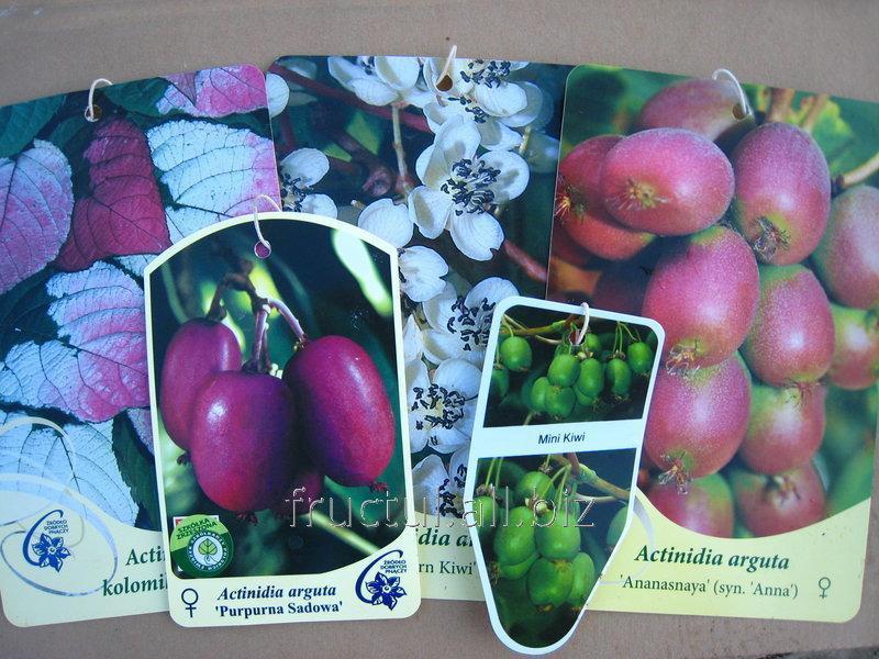Купить Цветы Actinidia, mini-kiwi