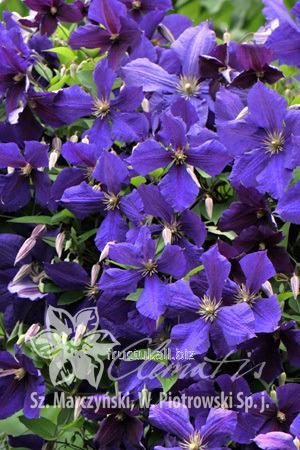 Купить Цветы Jacmanii