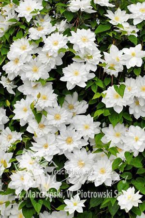 Купить Цветы Isago