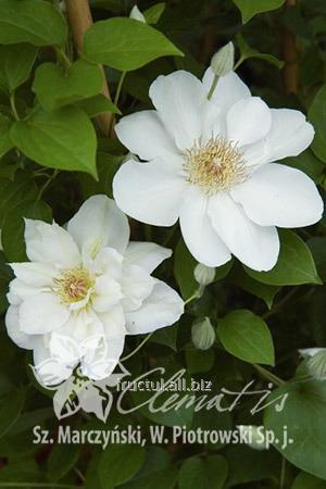 Купить Цветы Jerzy popieluszko