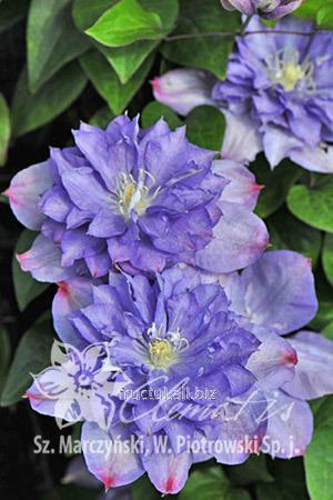 Купить Цветы Blue Explosioon