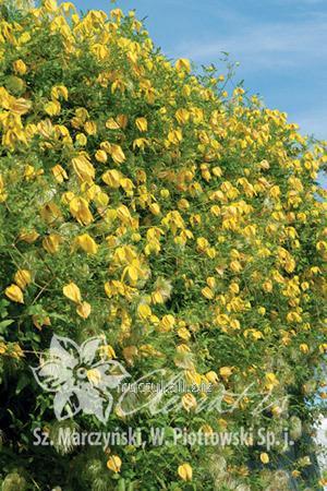 Купить Цветы Lambton Park